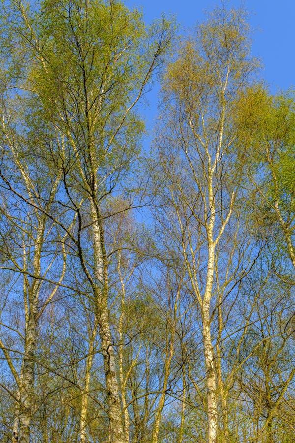 Srebnej brzozy drzewa w świetle słonecznym obraz stock