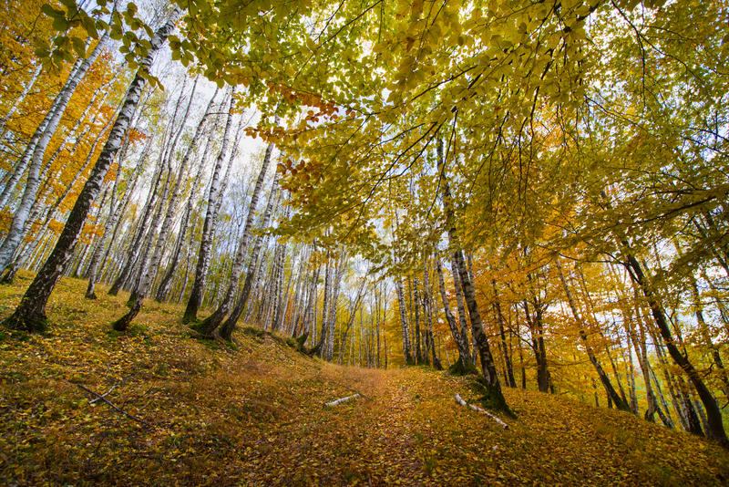 Srebnej brzozy las w jesieni obrazy royalty free