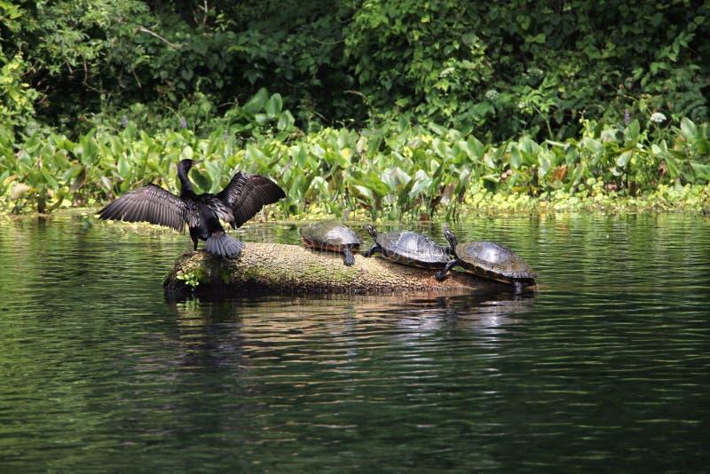 Srebni Rzeczni Floryda żółwie fotografia royalty free