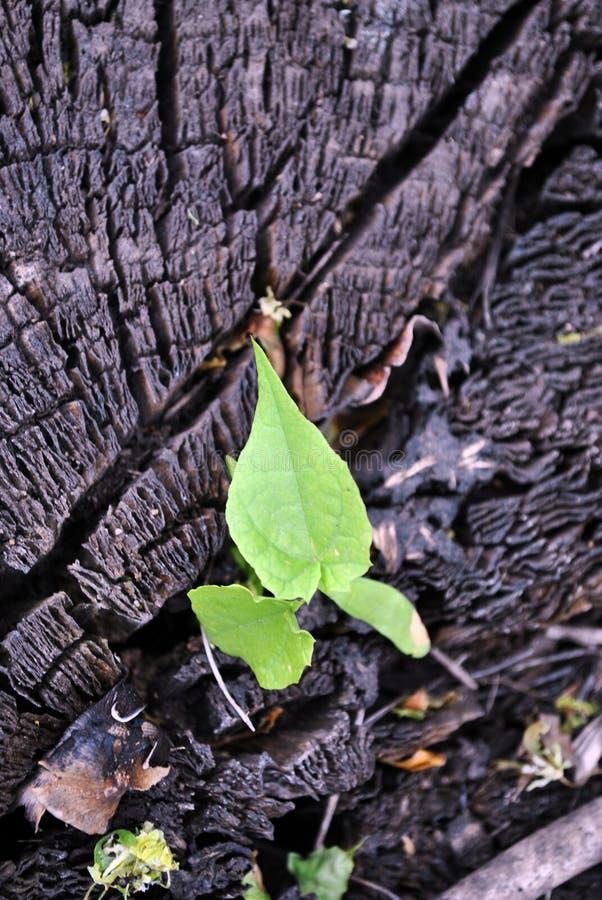 Srebny klonowego drzewa nowy kiełkowy dorośnięcie w krakingowym starym drzewnym bagażniku fotografia stock