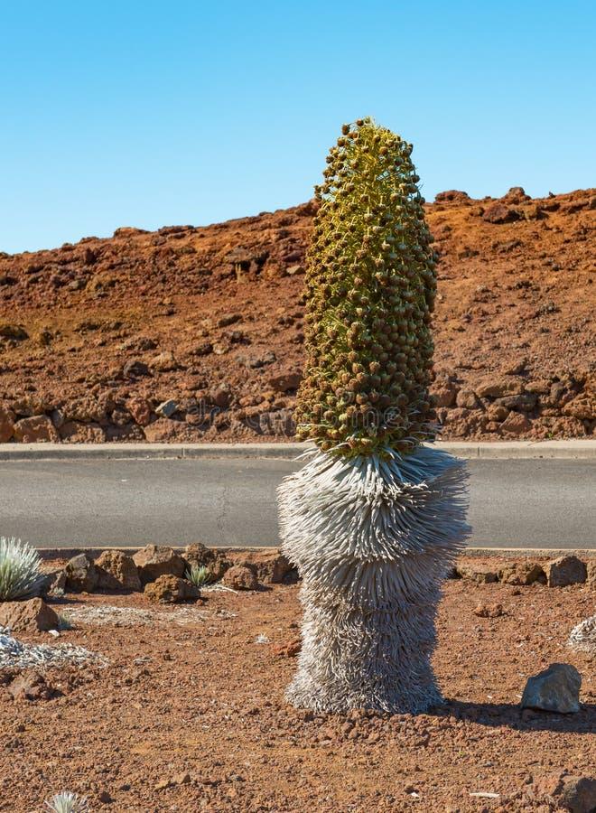 Srebny kordzik przy parking terenem haleakala krateru Maui brzęczenia obraz stock