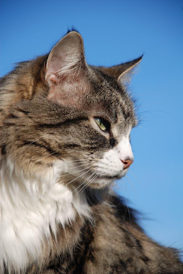 srebny kota tabby fotografia stock