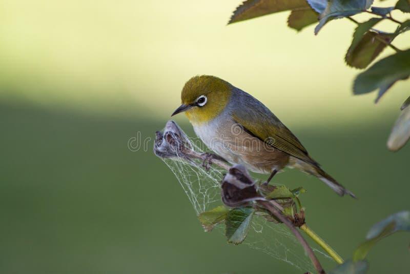Srebny oko ptak Australia zdjęcie stock