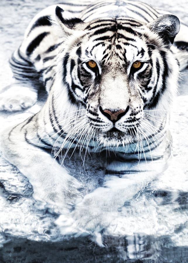 srebny tygrys obraz royalty free