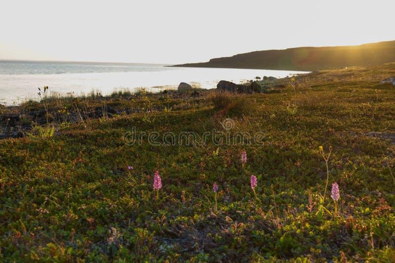 SREDNIY-HALVÖN, den MURMANSK REGIONEN, kastade alger surfar, kusten av det arktiska havet, den Sredniy halvön royaltyfri foto