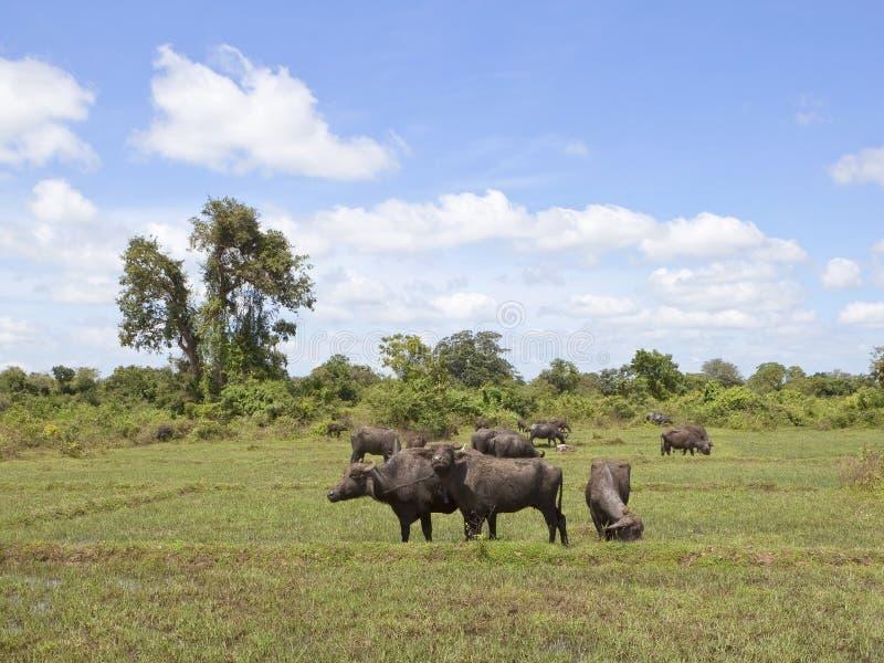 sri ландшафта 2 буйволов lankan стоковое изображение rf