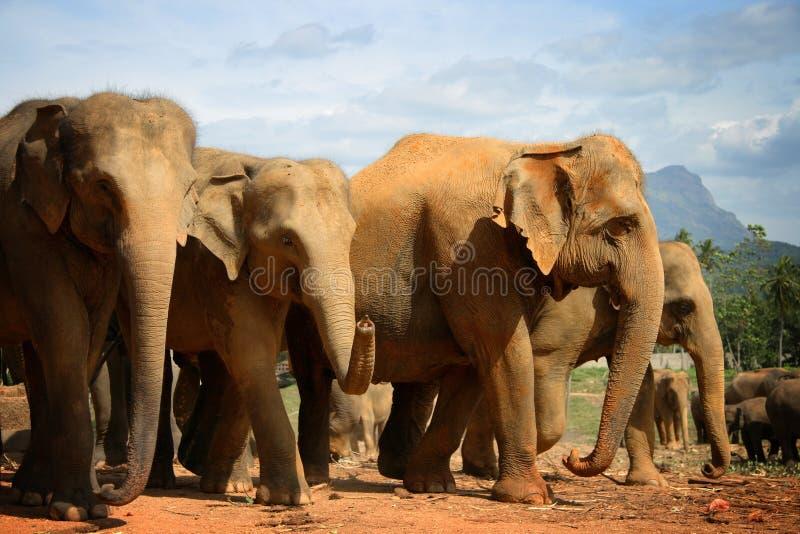 sri för elefantlankapinnawela arkivfoton