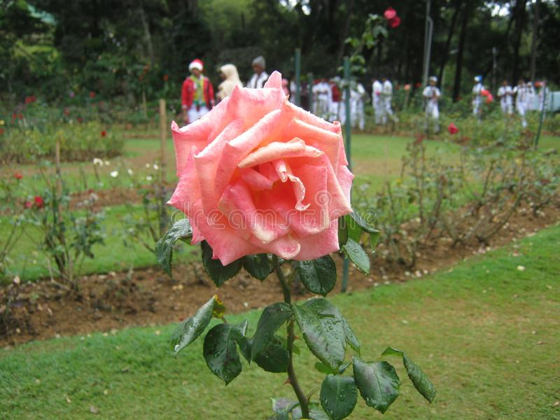 The image is rose in sri lanka. location is Haggala sri lanka royalty free stock photography