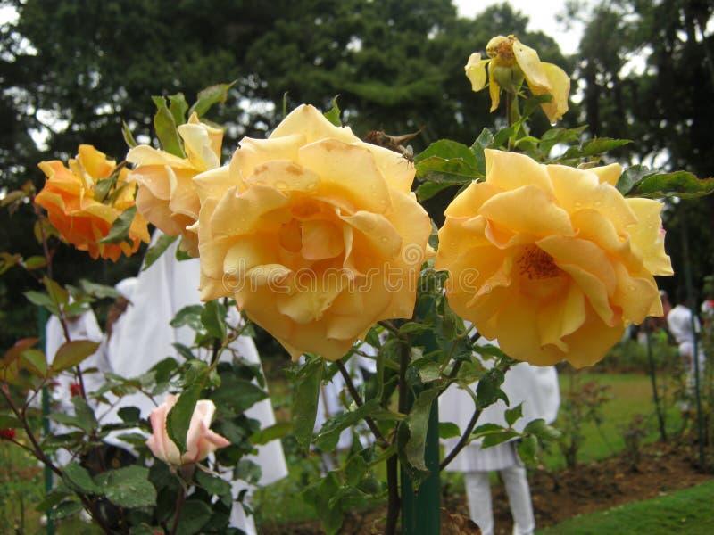 The image is rose in sri lanka. location is Haggala sri lanka royalty free stock image