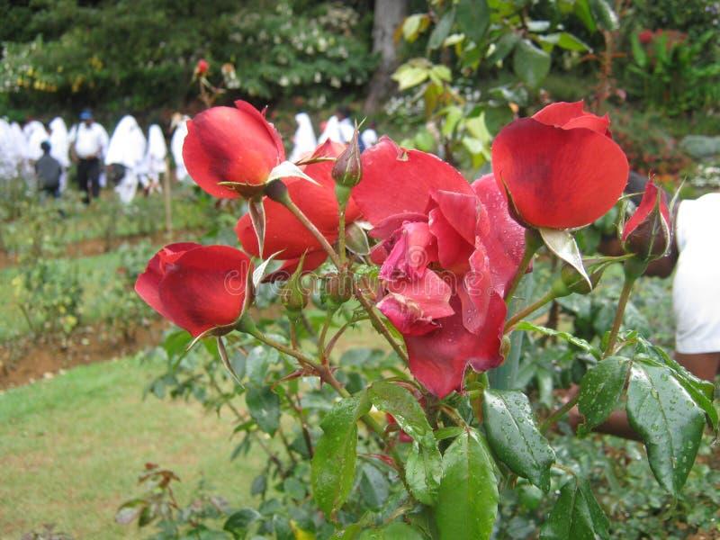 The image is rose in sri lanka. location is Haggala sri lanka royalty free stock photo