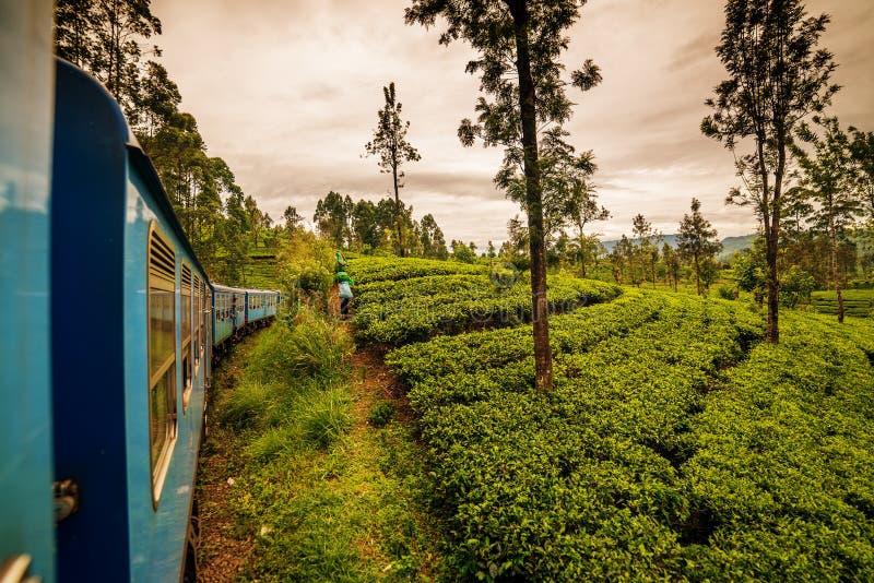 Sri Lanka: berühmte Ceylon-Hochlandteefelder stockbild