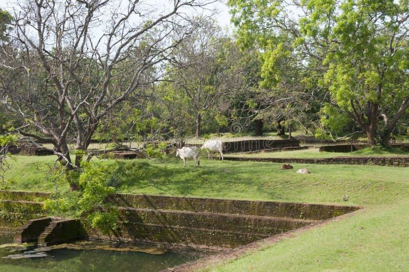 Sri Lanka, Ceylon, ruïnes Sigiriya met geweide koeien stock foto