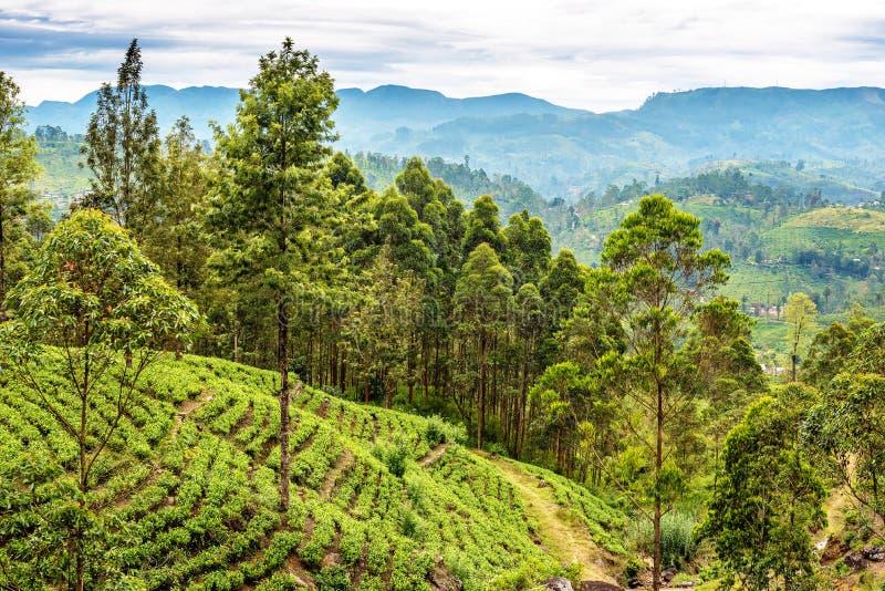 Sri Lanka : champs de thé photo stock