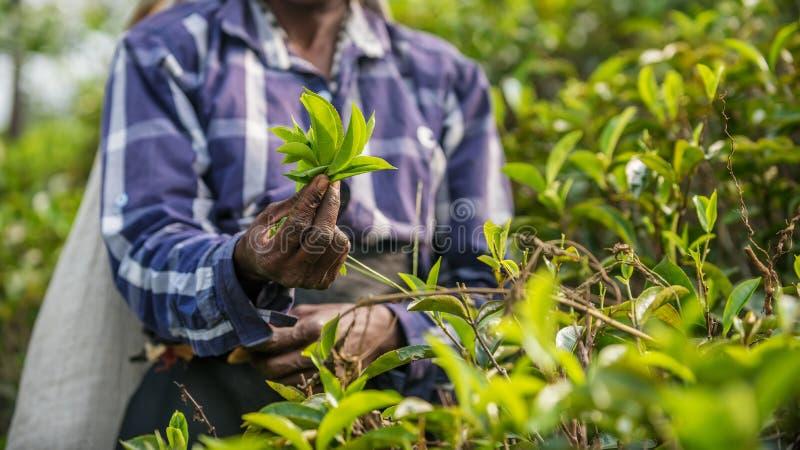 Sri Lanka: collection of tea. In tea plantation royalty free stock photos