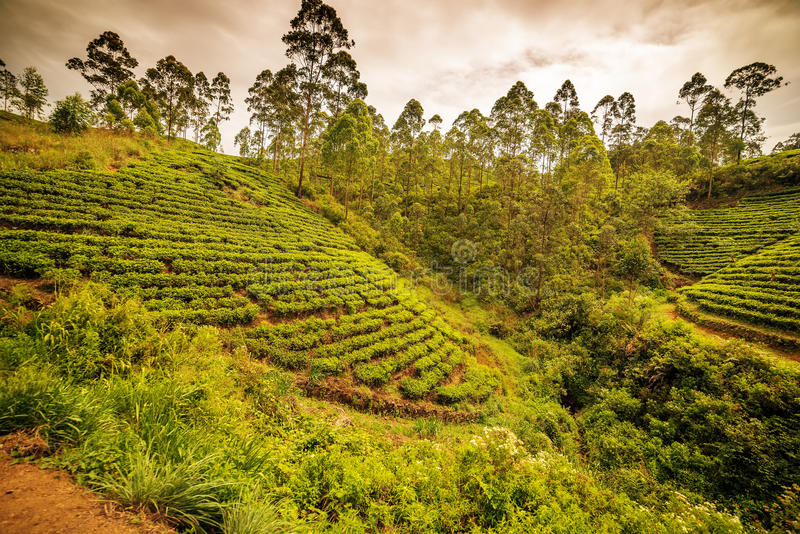 Sri Lanka: de beroemde gebieden van de het hooglandthee van Ceylon royalty-vrije stock foto's