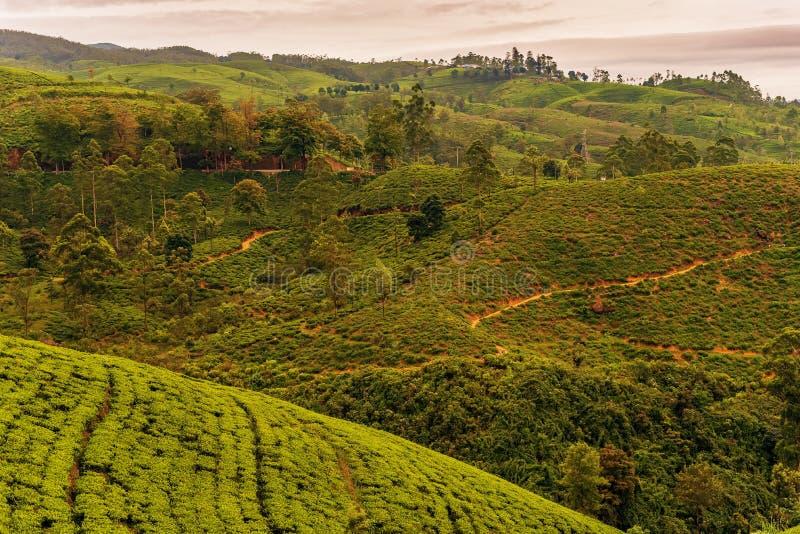 Sri Lanka: de beroemde gebieden van de het hooglandthee van Ceylon royalty-vrije stock afbeeldingen