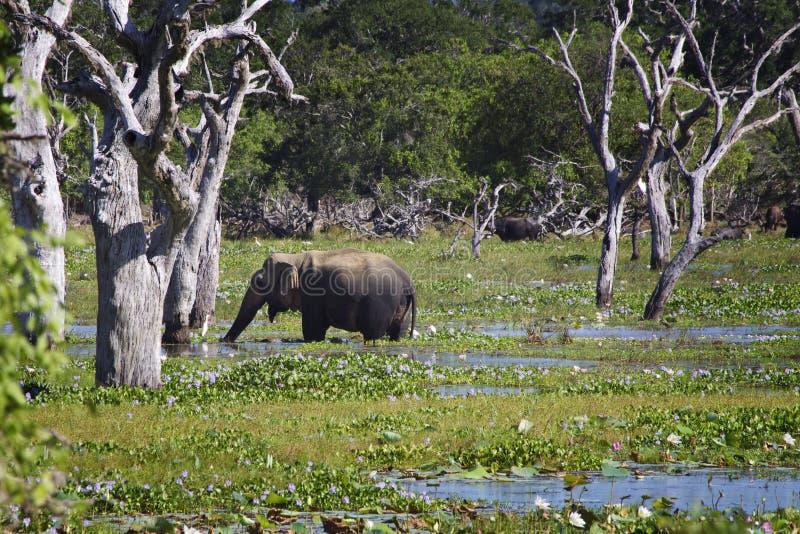 sri lanka elefant in yala stockfoto bild von baum suchen 40295668. Black Bedroom Furniture Sets. Home Design Ideas
