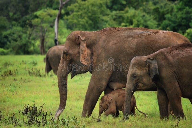 Download Sri Lanka: Elephants In Kaudulla Stock Photography - Image: 18727672