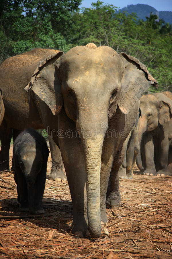 Sri Lanka: Elephants of Pinnawela