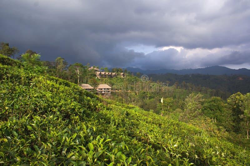 Sri Lanka - Ella. Holiday in Sri Lanka 2016 - Tea plantation royalty free stock image
