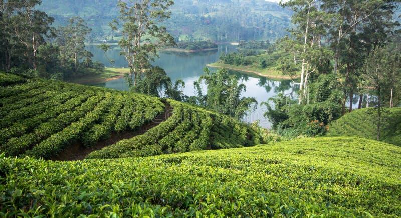 Sri Lanka et x27 ; domaines de thé de s photographie stock