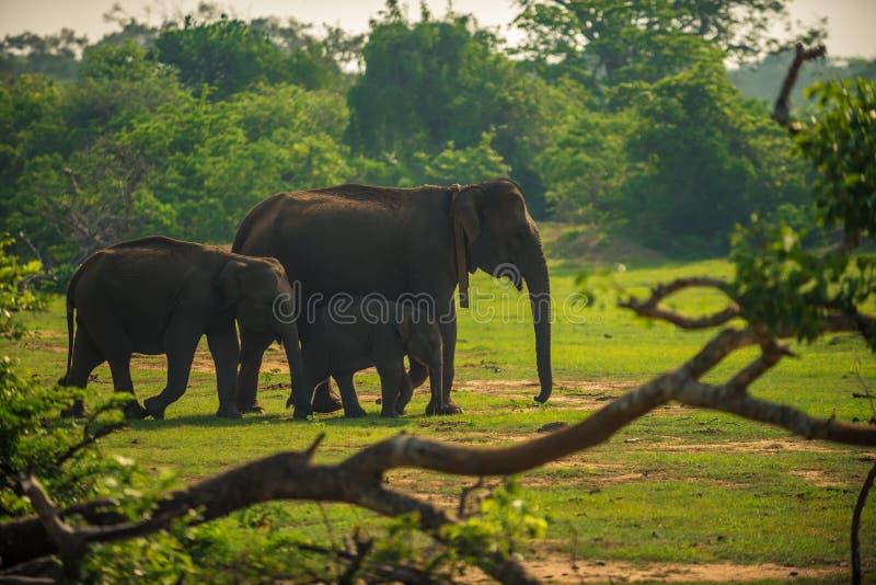 Sri Lanka: Familie von wilden Elefanten in Nationalpark Yala lizenzfreie stockbilder