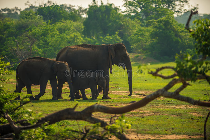 Sri Lanka: family of wild elephants in Yala National Park royalty free stock images