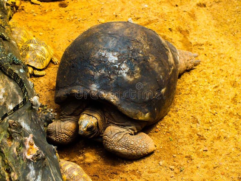 SRI LANKA gammal sköldpadda fotografering för bildbyråer