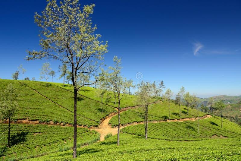 Sri Lanka, groene Theeaanplanting stock afbeeldingen