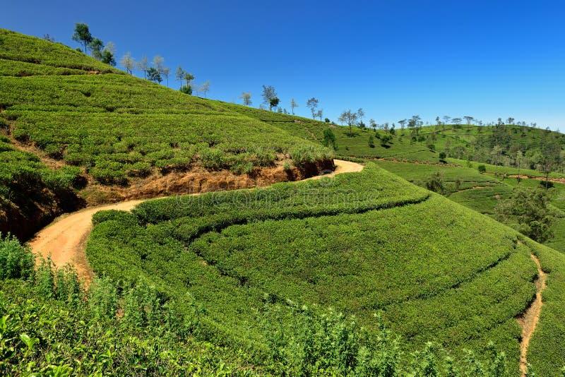 Sri Lanka, groene Theeaanplanting royalty-vrije stock afbeelding