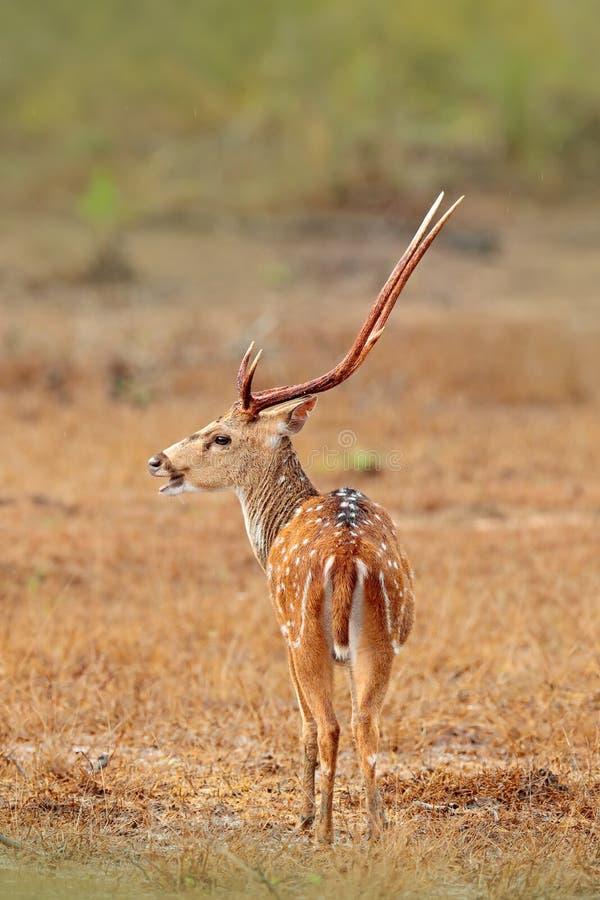 Sri Lanka-het wild Van de asherten van Srilankan de Asceylonensis, of Ceylon bevlekte herten, aardhabitat Blaasbalg majestueuze k stock foto's