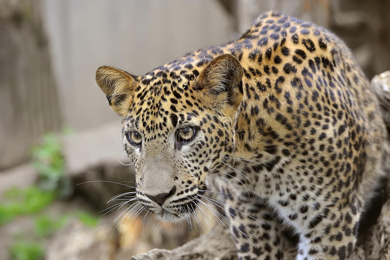 Download Sri Lanka Leopard stock photo. Image of fanny, predator - 14199368