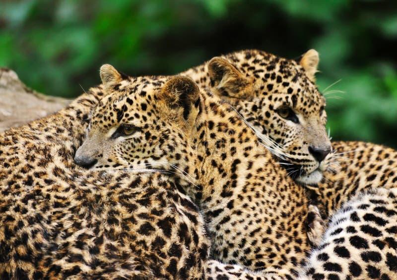 Sri Lanka Leopard royalty free stock images
