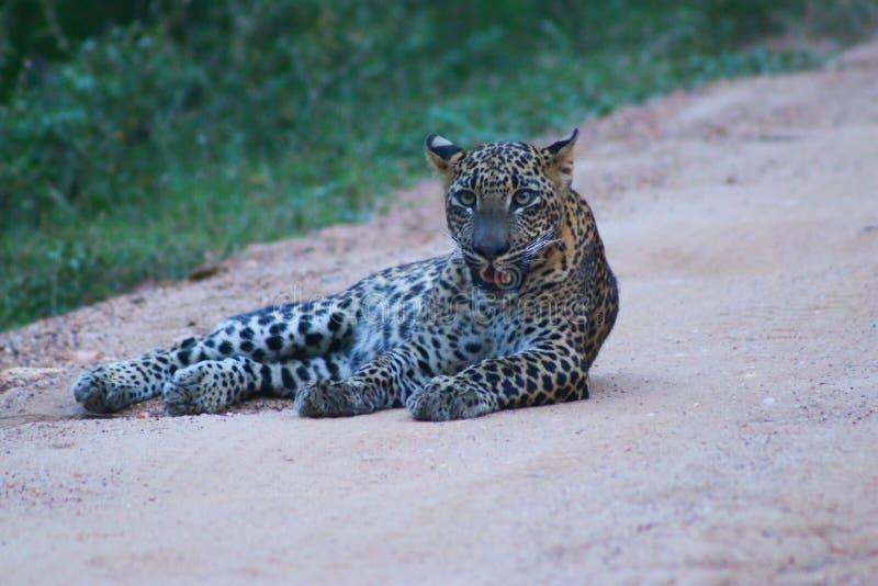 Sri Lanka Leopard stock photo