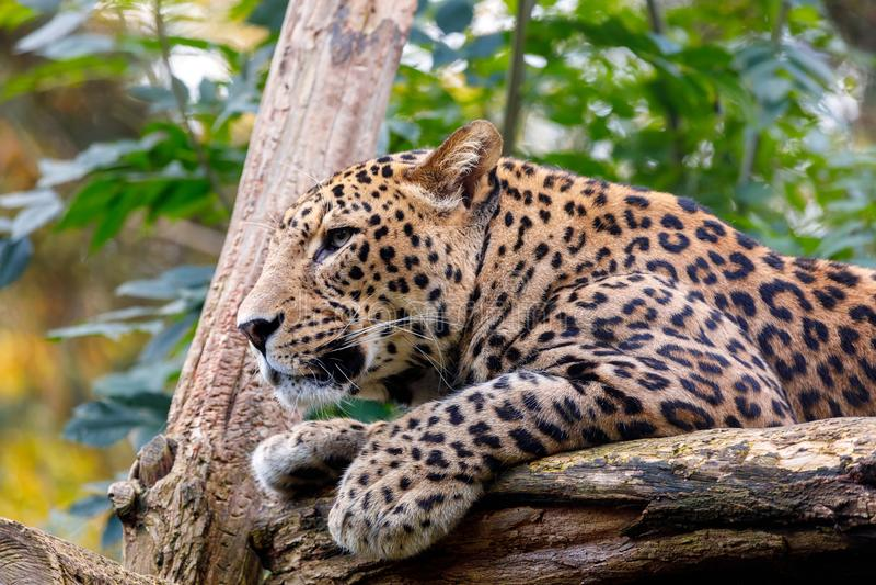 Sri Lanka-Leopard, Panthera pardus kotiya stockfoto