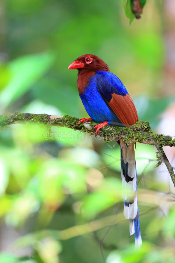 Sri Lanka lub Ceylon błękita sroka obrazy royalty free