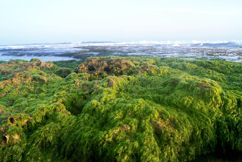 Sri Lanka, Meerespflanze stockfotografie