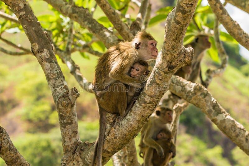 Sri Lanka Monkeys stock images