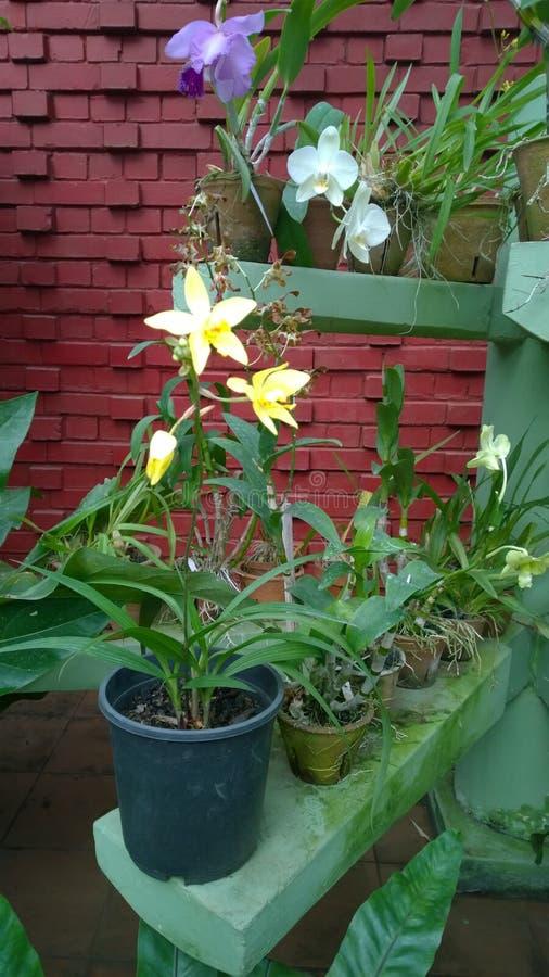 Beautiful orchid flowers sri lanka 01 royalty free stock image