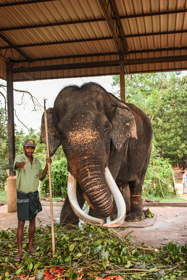 Sri Lanka, November 2011. Pinnawala Elephant Orphanag. royalty free stock photos