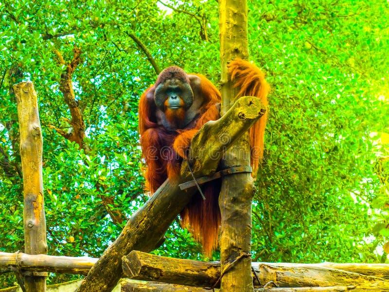 SRI LANKA orangutang royaltyfria foton