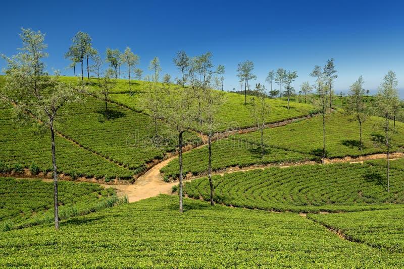 Sri Lanka, plantation de thé photographie stock libre de droits