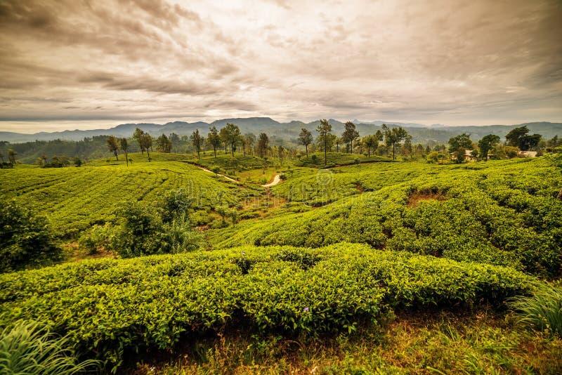 Sri Lanka: sławni Ceylon herbaty górscy pola fotografia stock