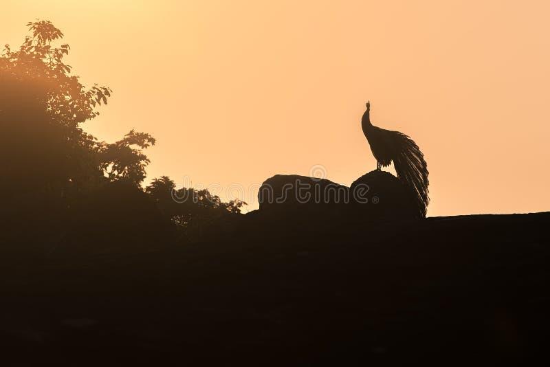 Sri Lanka: Schattenbild des Pfaus in Nationalpark Yala stockfotos