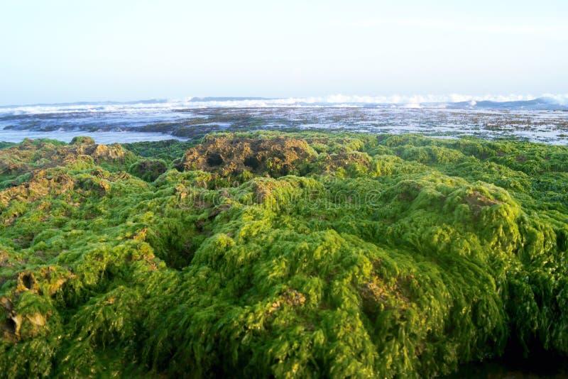 Sri Lanka, seaweed stock photography