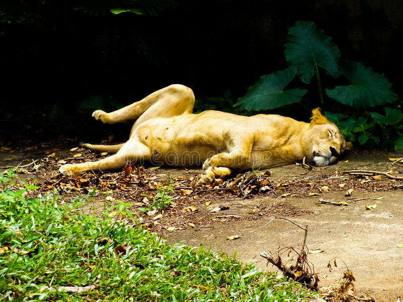 SRI LANKA som sover lejoninnan fotografering för bildbyråer