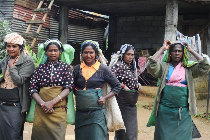 Sri Lanka Tea Picker women royalty free stock photo