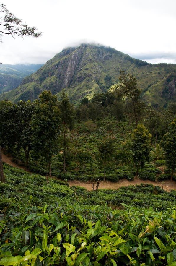 Sri Lanka-theegebieden royalty-vrije stock afbeelding