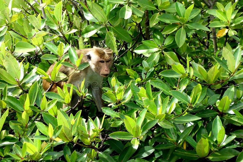 Sri Lanka-Toque-Makaken-Affe-Mann stockbild