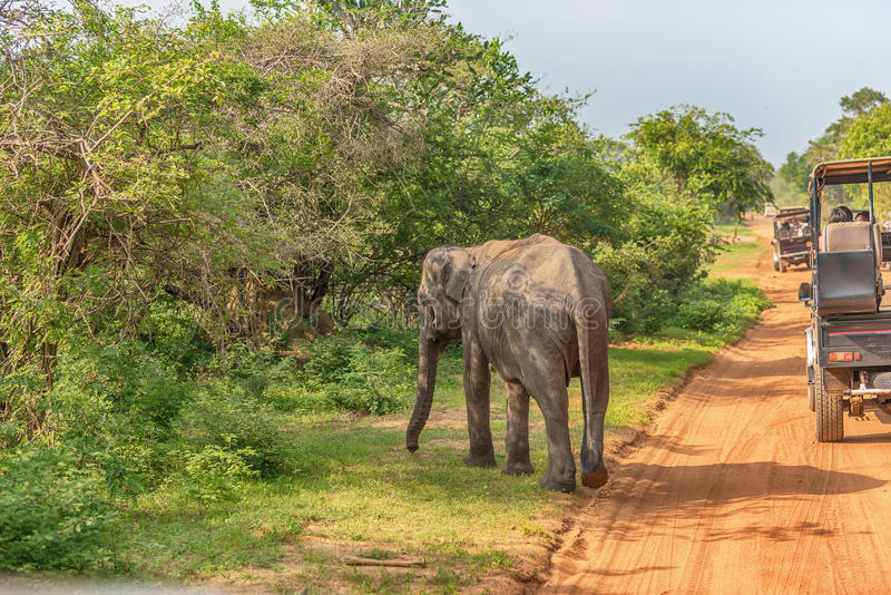 Sri Lanka: wild baby elephant in Yala National Park stock images